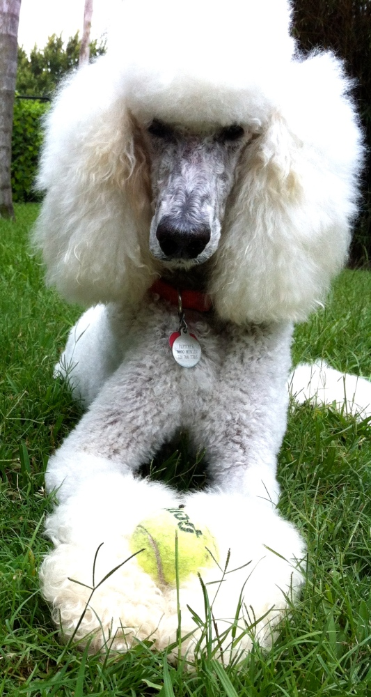 A Poodle of Many Titles